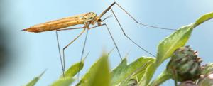 Mosquito crane-fly