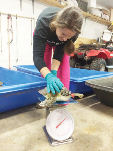 Going in for rehab Several rescued cold-stunned sea turtles were brought in for rehabilitation at Sea Turtles Inc. Educator Caitlin Bovery is seen weighing one of the turtles on Nov. 14.  (Photo by Teresa Shumaker)
