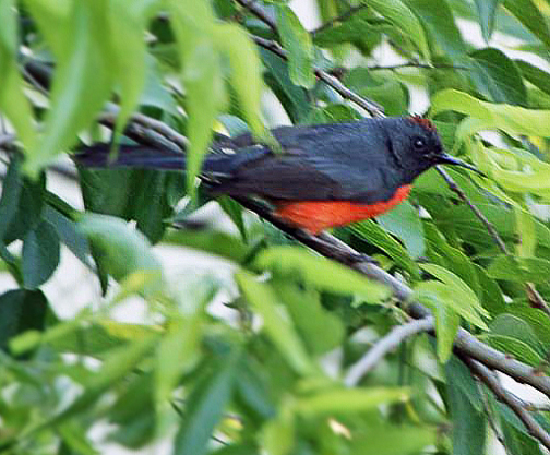 Slate-throated-Redstart-Donna-McCowanWEB