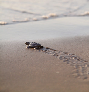 Bon Voyage! Sea Turtle Inc. releases first hatchlings of season