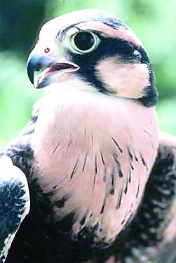 Aplomado falcon. (Courtesy Chris Perez, Lower Rio Grande Valley National Wildlife Refuge)