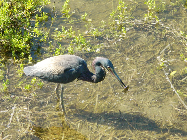 Tricolored Heron with fish catchWEB
