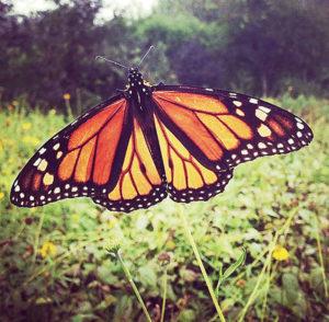 Life on the Boardwalk: Monarch Migration Superhighway