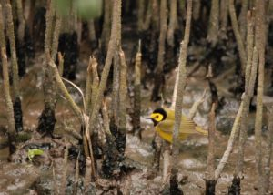 Creatures Among Us: Welcome, Hooded Warbler!