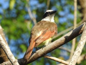 Creatures Among Us: Great Kiskadees — Voices of the Rio Grande Valley