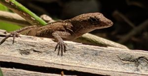 Creatures Among Us: Green and Brown Anoles:  One Native, One Introduced
