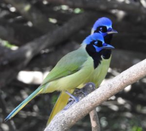 Creatures Among Us: Stunning, Clever Green Jays