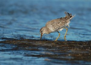 Life on the Boardwalk: Shorebirds Coming Through!